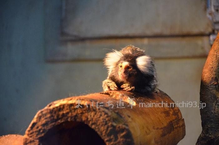 小さな原猿、コモンマーモセット