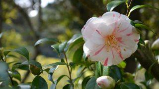 2017春の伊豆大島・路線バスの旅、大島公園の椿まつりと椿園(2/4)